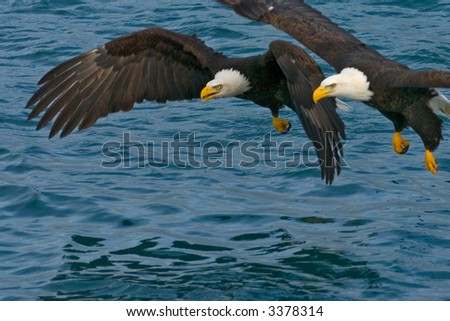 two american bald eagles racing to grab a fish in alaska waters