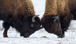 Two American bison butting on the snow. Two American bison (bison bison). Two huge American bison in the snow-covered frost steppe.