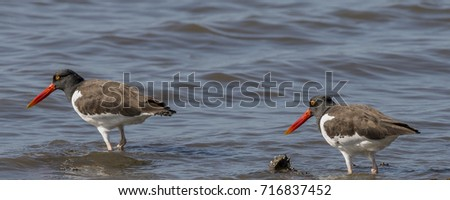 two american oystercatchers ...