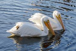 Two American White Pelicans, Nonbreeding Adults, Foraging in Lake Merritt, Oakland California
