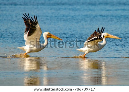 "Two American White Pelicans taking flight over lake at J. N. ""Ding"" Darling National Wildlife Refuge on Sanibel Island, Florida - Shutterstock ID 786709717"