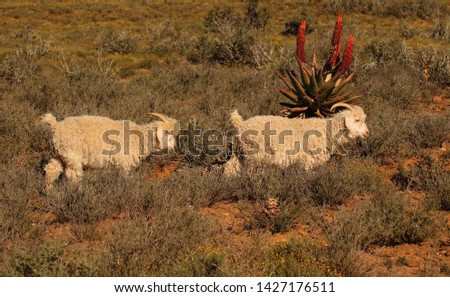 Two Angora goats walking past an Aloe ferox, is the source of fine, quality, luxurious mohair, Eastern Cape, South Africa.