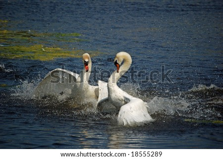 Two angry fighting macho swans
