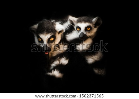 Two animals (ring-tailed lemur, ring-tailed lemur) sleep together curled up, eyes from a ball of hairy bodies, a symbol of sleep and nightmares glow from the darkness.