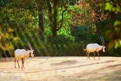 Two antelopes in zoo of Jardin des Plantes, Paris, France