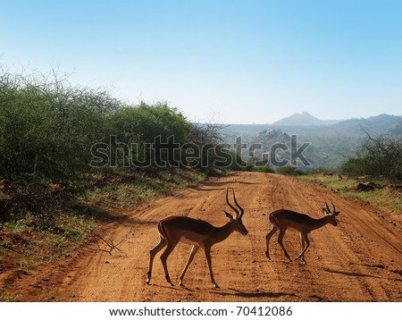 Two antilopes crossing road