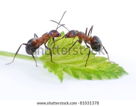 two ants and green fresh leaf