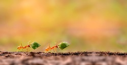 Two Ants are carrying on leaves .Amazing Strong Ants.