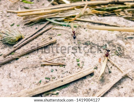 Two ants working together to collect together hay #1419004127