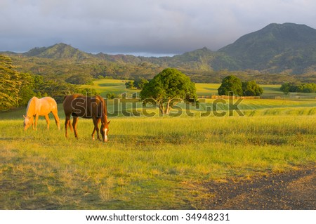 two appaloosa horses feeding on grass in a Kauai ranch
