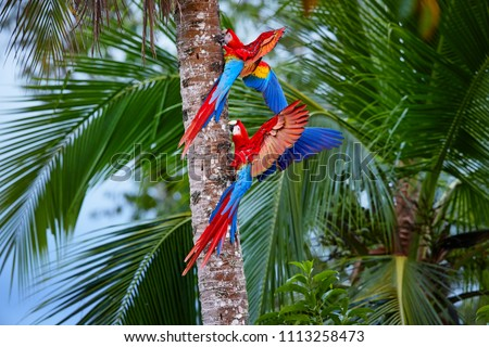 Two Ara macao, Scarlet Macaw, pair of big, red colored, amazonian parrots near nesting hole on palm tree, outstretched wings, long red tail against wet forest. Manu National Park, Peru, Amazon basin.