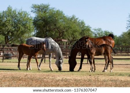 Two Arabian mares with their foals in the pasture. Gray Arabian mare with chestnut foal. Bay Arabian mare with bay foal.