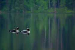 Two Arctic Loons on beautiful lake in Finland in the morning. Also called Black-throated loon (Gavia arctica), Black-throated diver, migratory aquatic bird found in the northern hemisphere.