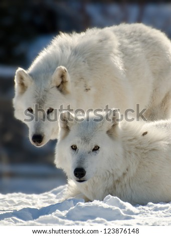 Two Arctic wolves