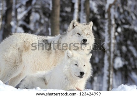 two arctics wolves in forest