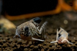 Two Armored catfish or Cory catfish look for food in aquatic soil near decorative and snail in fresh water aquarium tank.