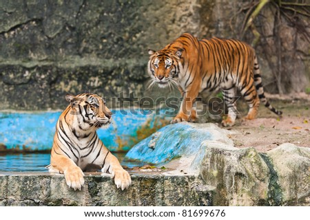 Two asian tiger - stock photo