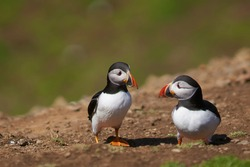 Two Atlantic puffin (Fratercula arctica) in spring on Skomer Island off the coast of Pembrokeshire in Wales, United Kingdom