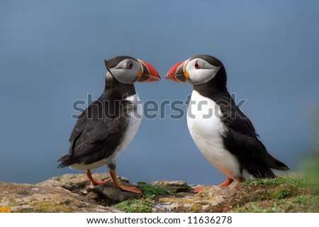 Two atlantic puffins on rock Fratercula arctica - stock photo