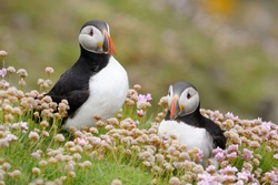 Two Atlantic Puffins together in pink thrift.