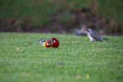 Two Australian Eastern Rosella birds, with red head and blue patterned wings and a noisy miner bird in the background