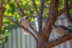 Two Australian noisy miner birds perched on a tree in front of a metal fence in a backyard in Adelaide, South AUstralia