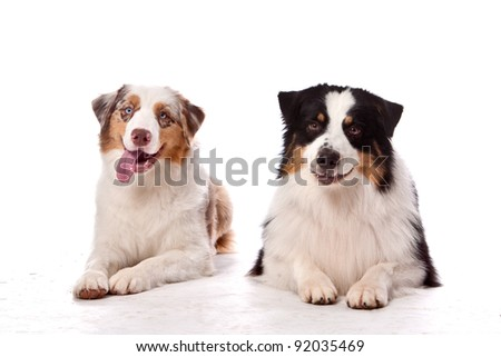 Two Australian Shepherd dogs laying down both looking at the camera with a smile