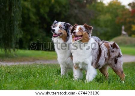 Two australian shepherd dogs standing  #674493130
