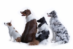 Two australian shephers, one sheltie and one Jack Russsell Terrier from behind