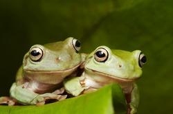 Two Australian tree frogs (Litoria caerulea) embrace on a leaf
