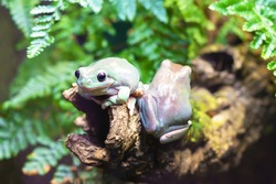 Two Australian white tree frogs on a branch. Litoria caerulea, genus of tailless amphibians from tree frog family. wild nature. animal, amphibian closeup. soft focus