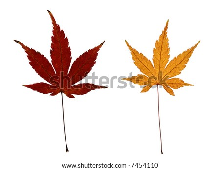 japanese maple leaves. leaves of Japanese maple