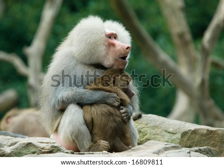 Two Monkeys in Love Two Baboon Monkeys in Love