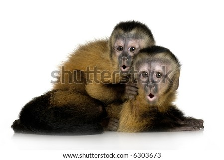 Two Baby Capuchins ( 3 months) in front of a white background