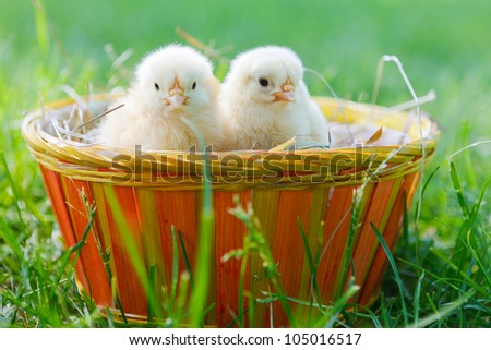 two baby chicken inside of a basket outdoor #105016517