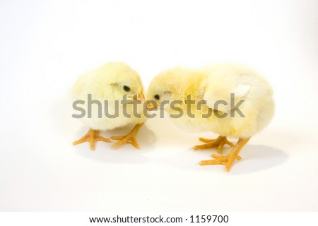 two baby chicks looking at each other
