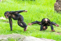 Two baby Chimpanzees playing on the grass.