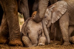 Two baby elephants interact whist an adult gently touches them her trunk.   Elephants are known for their strong family bonds and caring by and for every member of the herd.