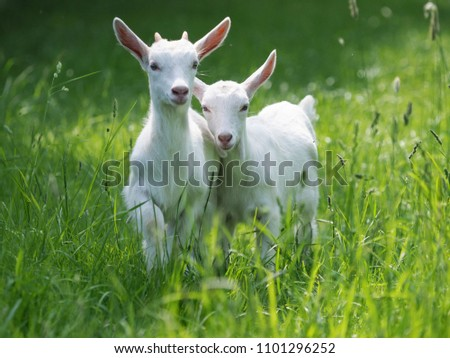 Two baby goat kids stand in long summer grass. #1101296252