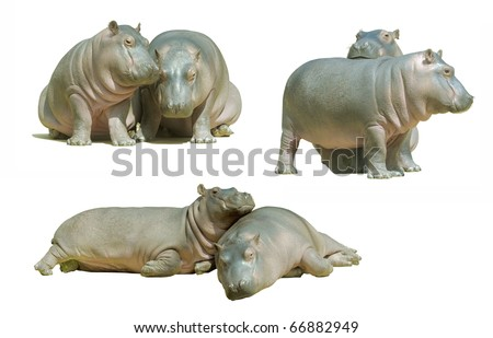 Two baby hippos, isolated on white - stock photo