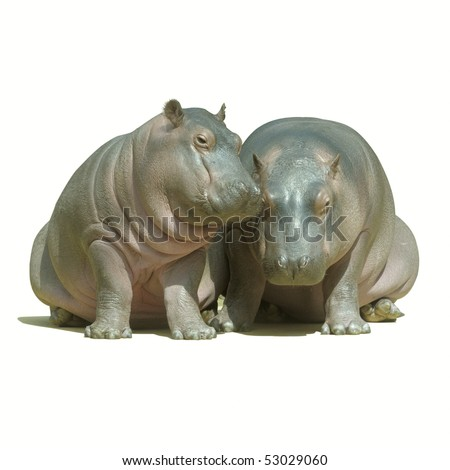 two baby hippos sitting, isolated with path