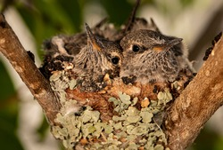 Two baby humingbirds in a nest