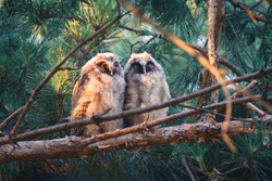 Two baby long eared owls sleeping on a branch. Two young long eared owls (Asio otus) sitting and sleeping on a branch of pine tree. Pair of owlets are sleeping at sunrise in the morning.