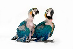 two baby macaws 6 weeks old