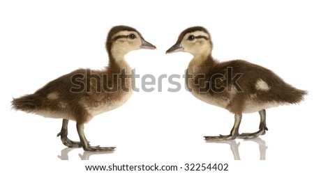 two baby mallard ducks standing looking at each other isolated on white background - stock photo
