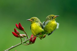 Two baby Olive-Backed Sunbirds (Cinnyris Jugularis), Olive-Backed Sunbirds on branch