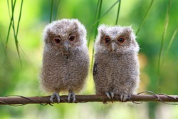 Two baby owl on branch, bird on branch