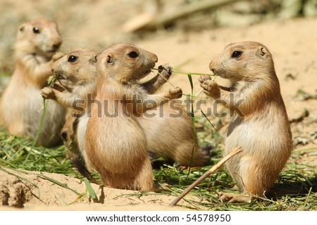 Two baby prairie dog sharing their food