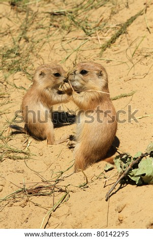 Two baby prairie dogs eating