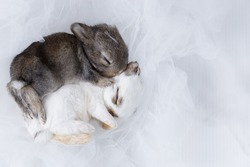 Two baby rabbits; white and dark grey new born rabbits sleeping together on light white net